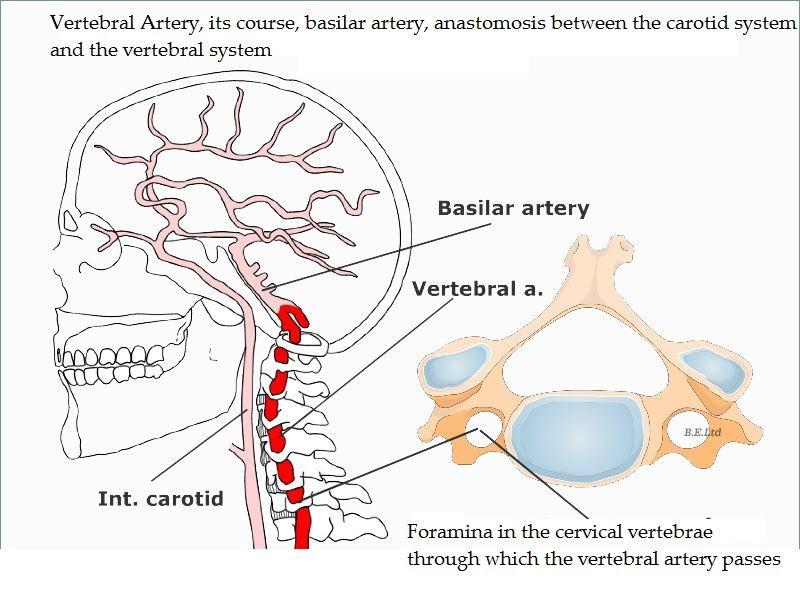 Risk of Vertebrobasilar Stroke and -Chiropractic Care-